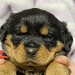 ロットワイラーの子犬 子犬専門 AngelWan 横浜