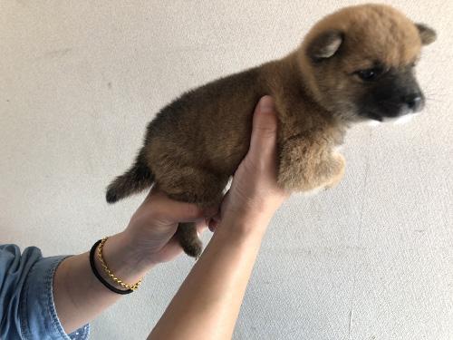 豆柴の子犬 子犬専門 AngelWan 横浜