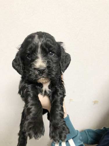 イングリッシュコッカースパニエルの子犬 子犬専門 AngelWan 横浜