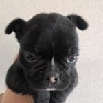 フレンチブルドッグの子犬 子犬専門 AngelWan 横浜