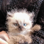 ヒマラヤンの子猫 子猫門 AngelWan 横浜