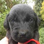 フラットコーテッドレトリバーの子犬 ブリーダー 子犬販売の専門店AngelWan 横浜