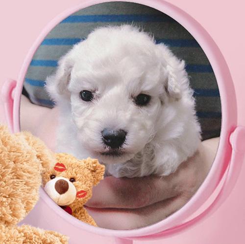 トイプードルの子犬 子犬専門AngelWan 横浜
