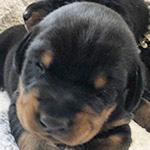 ドーベルマンの子犬 子犬専門AngelWan 横浜