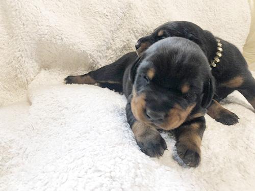 ドーベルマンの子犬 ブリーダー 子犬販売の専門店AngelWan 横浜