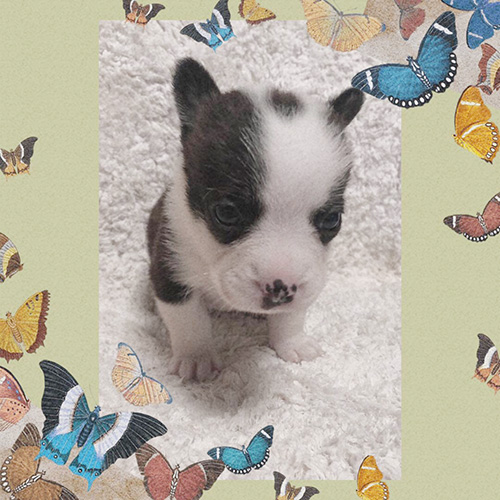ミックス(フレンチブルドッグ×コーギー)の子犬