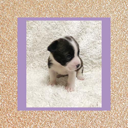 ミックスの子犬フレンチブルドッグ×コーギー) ブリーダー 子犬販売の専門店AngelWan 横浜