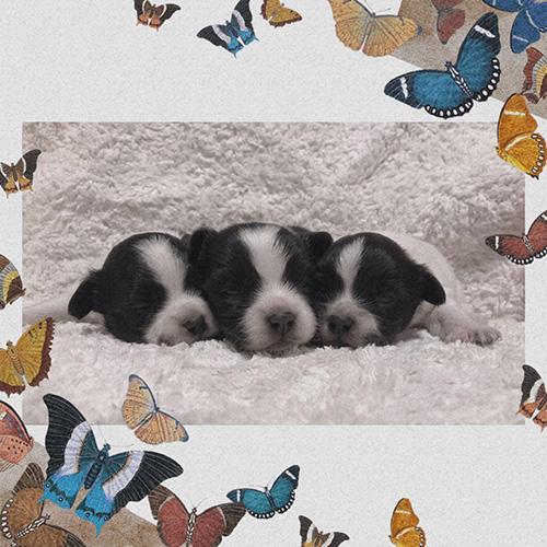 ミックスの子犬(チワワ×パピヨン)ブリーダー  子犬販売の専門店AngelWan 横浜