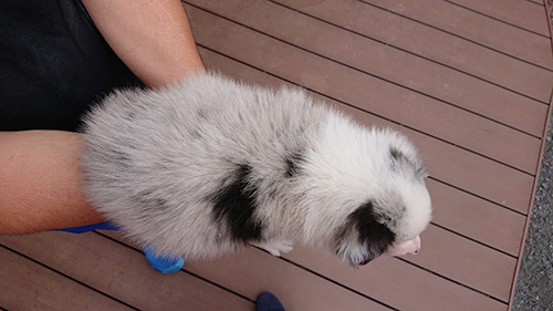 ボーダーコリーの子犬 ブリーダー 子犬子猫販売の専門店AngelWan 横浜