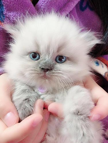 ヒマラヤンの子猫 ブリーダー 子犬子猫販売の専門店AngelWan 横浜