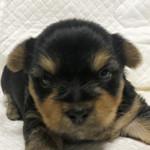 ヨークシャーテリアの子犬 ブリーダー 子犬子猫販売の専門店AngelWan 横浜