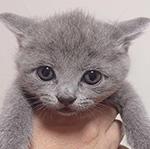 ブリティッシュショートヘアの子猫 ブリーダー 子犬子猫販売の専門店AngelWan 横浜