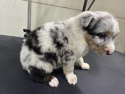オーストラリアンシェパードの子犬 ブリーダー 子犬子猫販売の専門店AngelWan 横浜