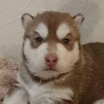 シベリアンハスキー 子犬販売 ブリーダー AngelWan