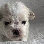 ミックス(マルチーズ×トイプードル)の子犬 ブリーダー 子犬子猫販売の専門店AngelWan 横浜