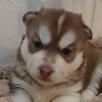 シベリアンハスキー 子犬販売 AngelWan