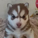 シベリアンハスキー ブリーダー 子犬販売 AngelWan