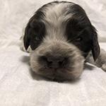 イングリッシュコッカースパニエルの子犬 ブリーダー 子犬子猫販売の専門店AngelWan 横浜