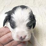 イングリッシュコッカースパニエルの子犬の子犬 ブリーダー 子犬子猫販売の専門店AngelWan 横浜