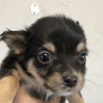 チワワの子犬 ブリーダー 子犬子猫販売の専門店AngelWan 横浜