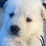 ホワイトシェパードの子犬 ブリーダー 子犬子猫販売の専門店AngelWan 横浜