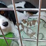 キャバリアキングチャールズスパニエルの子犬 ブリーダー 子犬子猫販売の専門店