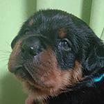 ロットワイラーの子犬 ブリーダー 子犬子猫販売の専門店