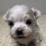 マルチーズの子犬 ブリーダー 子犬子猫販売の専門店AngelWan 横浜
