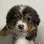 オーストラリアンシェパード 子犬販売 ブリーダー AngelWan
