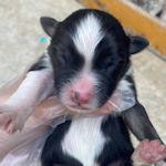 オゥシー 子犬販売 ブリーダー AngelWan
