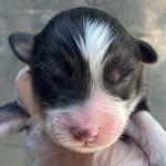 オーストラリアンシェパード 子犬販売 ブリーダー AneglWan