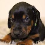 ドーベルマン 子犬販売 ブリーダー AngelWan