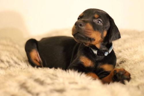 Dorberman puppy 写真