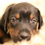 ドーベルマン ブリーダー 子犬販売 AngelWan