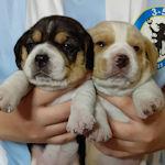 ビーグル ブリーダー 子犬販売 AngelWan
