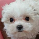 マルチーズ ブリーダー 子犬販売 AngelWan