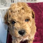 トイプードル ブリーダー 子犬販売 AngelWan