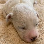 ビションフリーゼ ブリーダー 子犬販売の専門店 AngelWan