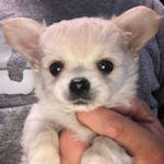 チワワ ブリーダー 子犬販売の専門店 AngelWan