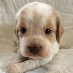 イングリッシュコッカースパニエル 子犬販売 ブリーダー AngelWan