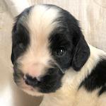 イングリッシュコッカースパニエル ブリーダー直販 子犬販売 AngelWan