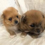 ミックス ブリーダー 子犬販売の専門店 AngelWan