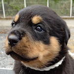 ロットワイラー ブリーダー 子犬販売 AngelWan
