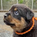 ロットワイラー ブラックタン ブリーダー 子犬販売 AngelWan