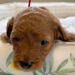 トイプードルの子犬 レッド 男の子