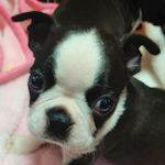 ボストンテリア ブリーダー 子犬販売の専門店 AngelWan