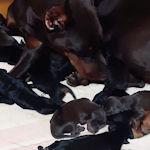 ドーベルマン ブリーダー 子犬販売の専門店 AngelWan