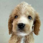 イングリッシュコッカースパニエル ブリーダー 子犬販売の専門店 AngelWan