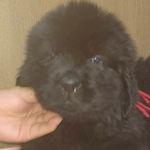 ニューファンドランド ブリーダー 子犬販売の専門店 AngelWan