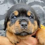 ロットワイラー ブリーダー 子犬販売の専門店 AngelWan